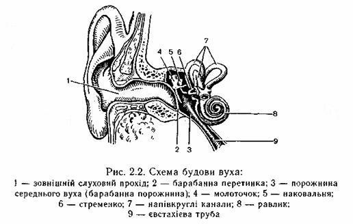 Внутрішнє вухо складається з